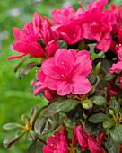 Rhododendron 'Canzonetta'