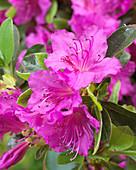 Rhododendron 'Königstein'