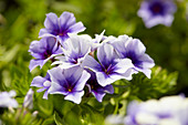 Phlox drummondii 'Dolly Light Blue'