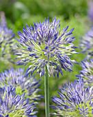 Allium litvinovii lipsitzii