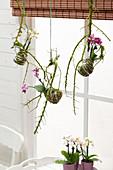 Phalaenopsis Kokedama Bälle
