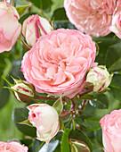 Rosa 'Mini Eden Rose'