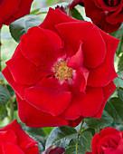 Rosa 'Santana'®