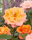 Rosa 'Orange Climber'