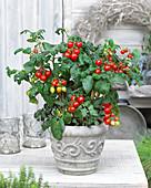 Solanum lycopersicum 'Heartbreakers F1 Vita'