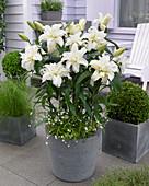Lilium 'Roselily Carolina'®