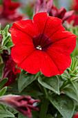 Petunia 'Viva® Bright Red'