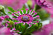 Osteospermum ecklonis 'Astra Purple Spoon'