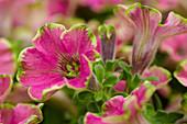 Petunia 'Mystical® Wicked Purple'