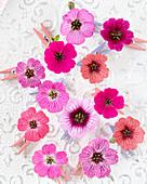 Geranium 'Jolly Jewel' ® Kollektion