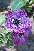 Geranium 'Jolly Jewel Lilac' ®