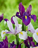 Iris hollandica 'Purple Sensation' 'Carmen'
