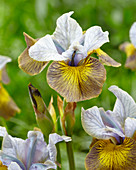 Iris sibirica 'Uncorked'