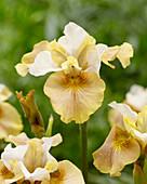 Iris sibirica 'White Amber'