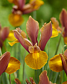 Iris hollandica 'Lion King'