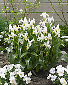 Iris willmottiana 'Alba'