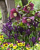 Iris reticulata 'Interstellar' mit Lenzrose