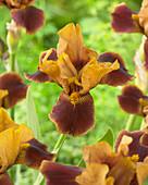 Iris germanica 'Hissy Fit'