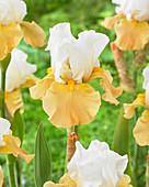 Iris germanica 'Apricot Frosty'