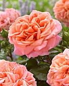 Rosa 'Mary Ann' ®