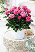 Rosa PatioHit ® 'Regina'