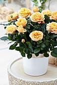 Rosa PatioHit ® 'Brandi'