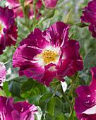 Rosa 'Purple Splash'