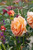 Rosa 'Lady von Shalott', Melica altissima 'Alba'