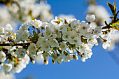 White blooming cherry blossom branch in front of a blue sky