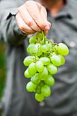 Person hält frisch geerntete Weintrauben in der Hand