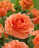 Rosa 'Welwyn Garden Glory'