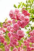 Ramblerrose mit pinken Blüten