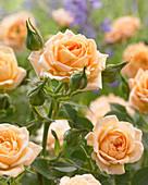 Rosa 'Sweet Dream'