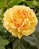 Rosa 'Amber Queen' ®