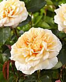 Rosa 'English Garden' ®