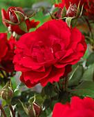 Rosa 'Shalom'