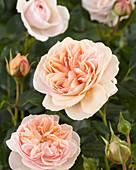 Rosa 'Garden of Roses'