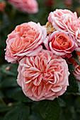 Rosa 'Mary Ann'