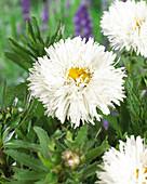 Leucanthemum 'Laspider'