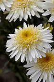 Leucanthemum 'Real Glory'