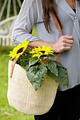 Helianthus annuus Blüten in Einkaufstasche