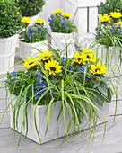 Carex morrowii 'EverColor® Everlime'