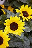 Helianthus 'Sunsation Yellow'