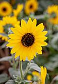 Helianthus annuus 'Sunfinity'