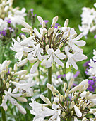 Agapanthus 'Leicester'