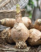 Zwiebeln der Hakenlilie