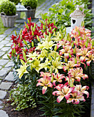 Lilium 'Easy Life Collection'