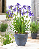 Agapanthus 'Stardust'