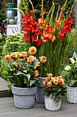 Gladiolen und Dahlien Topf-Arrangement