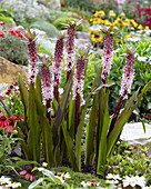 Eucomis 'Indian Summer' ®